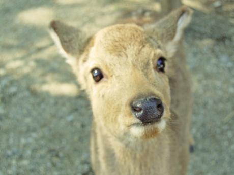 なら公園の子鹿